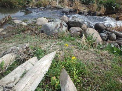 猪名川に咲く菜の花