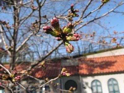 花の道の開花直前の桜